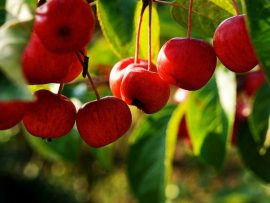 Fruit fruits cherries free hd 400207